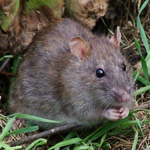 rats pest control